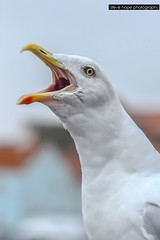 Hungry seagulls - Bridlington