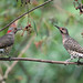 Northern Flickers (Colaptes auratus) by Mary Keim