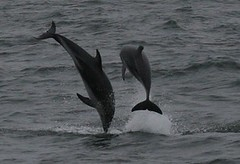 Dusky dolphins - Whale and dolphin watching with Nature Expeditions in Peru 2