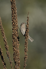 House Finch_9732.jpg by Mully410 * Images
