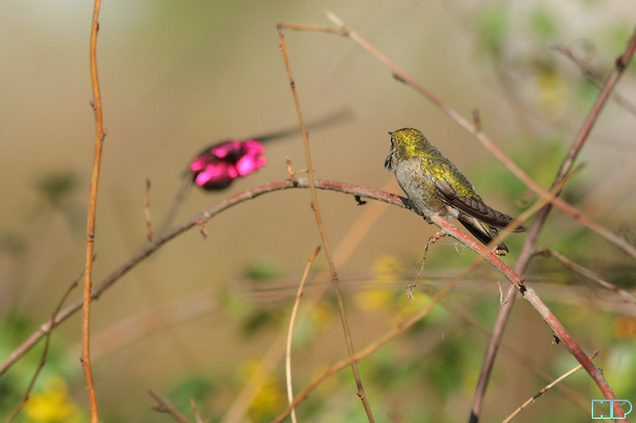 Anna's Hummingbird breeding 011812-9
