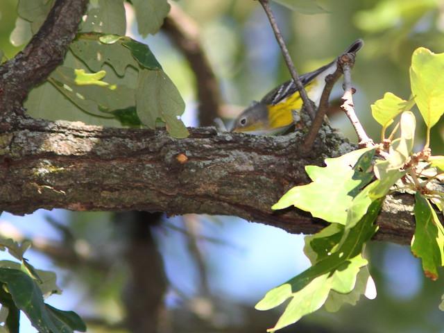 Magnolia Warbler 20120906