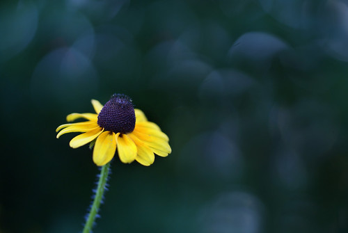 Black Eyed Susan~Explored!