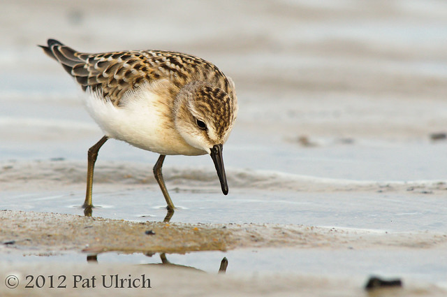 Focused semipalmated sandpiper
