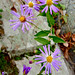 late purple aster - Photo (c) Fritz Flohr Reynolds, some rights reserved (CC BY-NC)