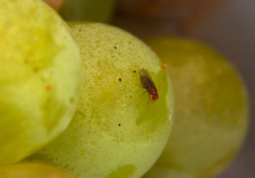 Fruit Flies on Grapes