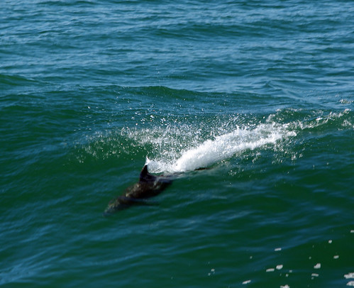Common Bottlenose Dolphin,Tursiops truncatus, surfing