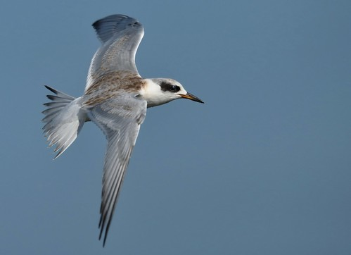 Juvenile Forsters Tern ~ In Flight