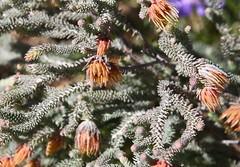 Darwinia chapmaniana (Myrtaceae)