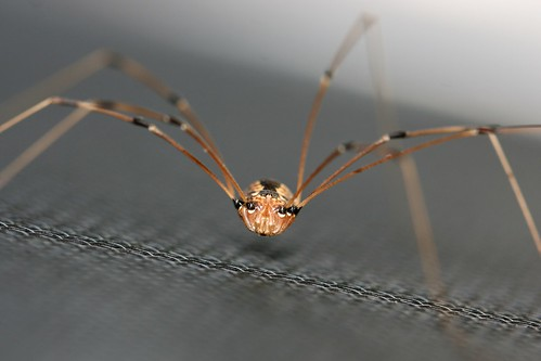 Opiliones on a screen