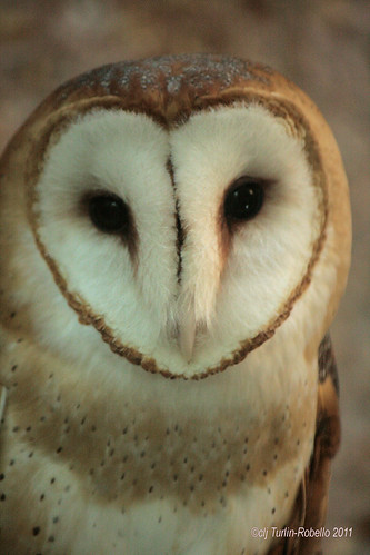 Barn Owl at Lakeside Nature Center by Cheryl Turlin