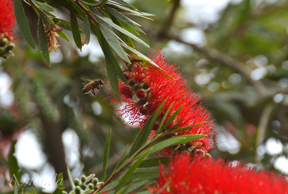 bottlebrush_1515 e