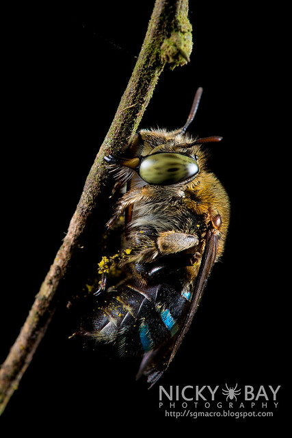 Sweat Bee (Amegilla sp.?) - DSC_1588