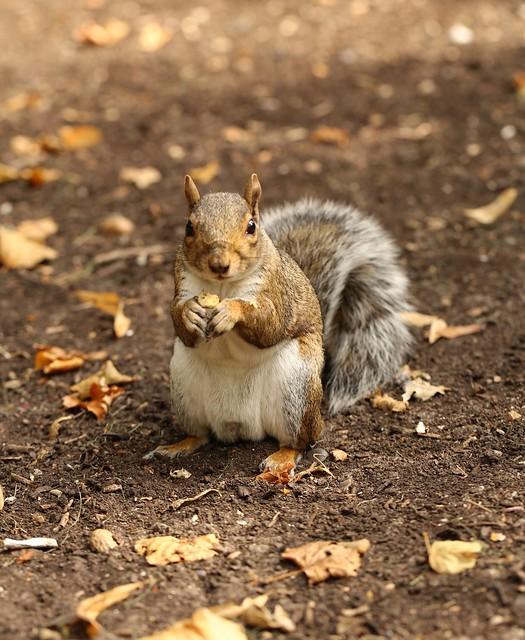 Squirrel in Greenwich Park