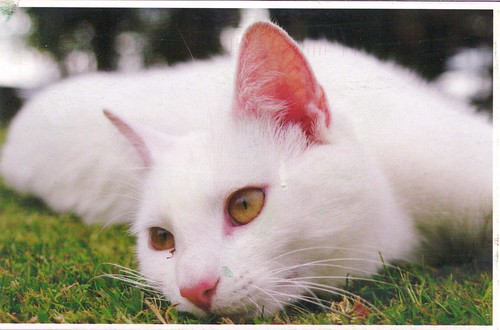 Dreamy White Cat