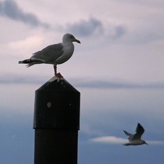 Sea gull on a post