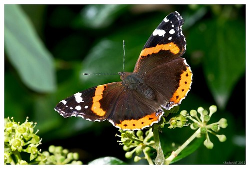 DSC_6743 Red Admiral Butterfly 29-09-2012