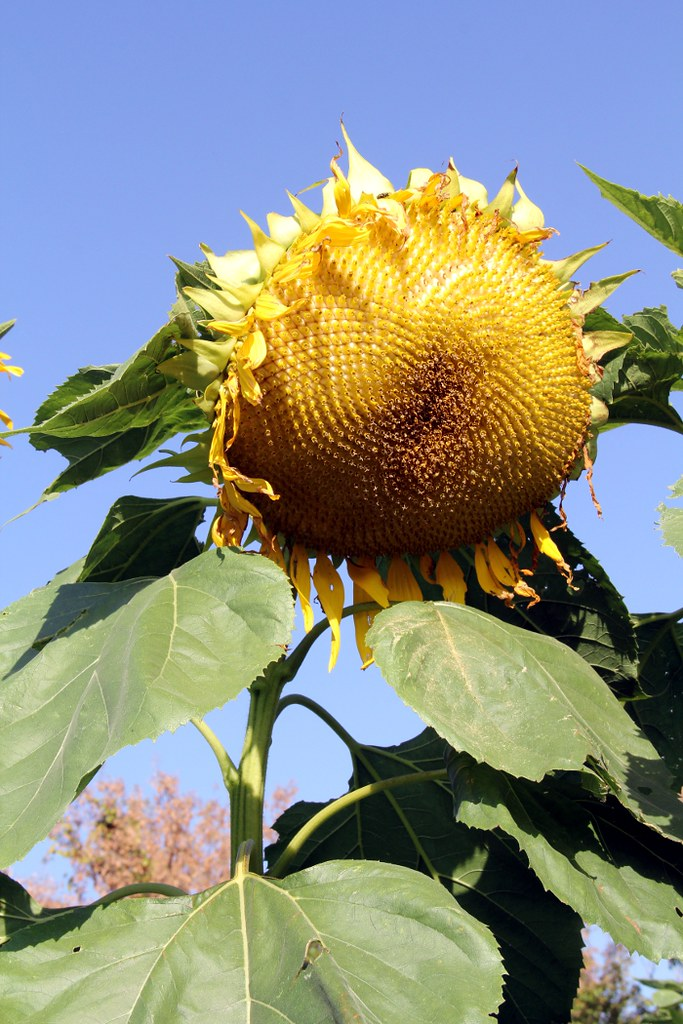 giant_sunflower