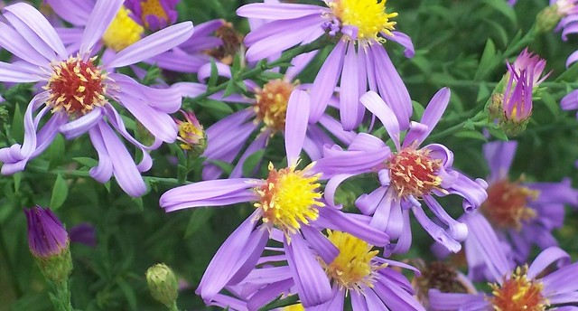 Aster laevis 'Bluebird' blooms, close - 2 Oct 2012