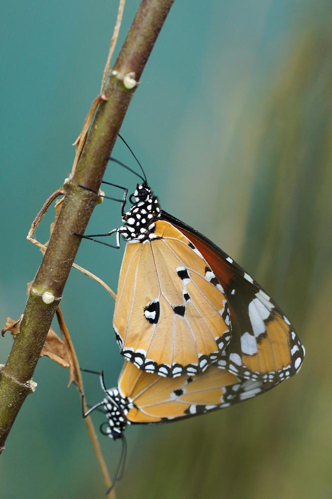 樺斑蝶-4