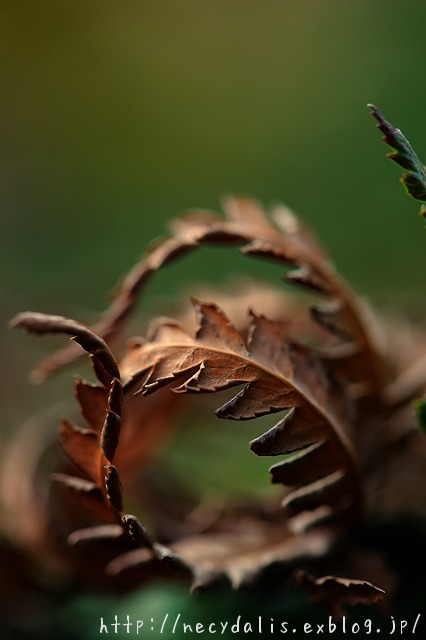 withered leaves...