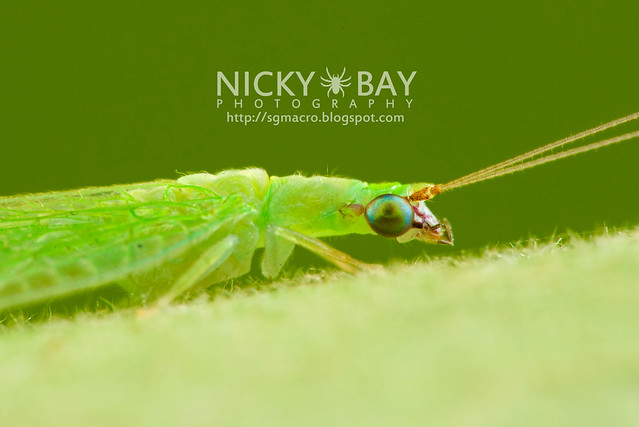 Green Lacewing (Chrysopidae) - DSC_6037