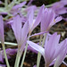 Autumn-Crocus