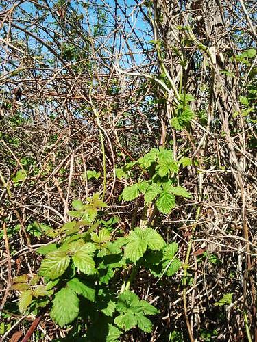 common hop - hmelj - Humulus lupulus