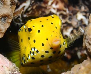 Boxfish face
