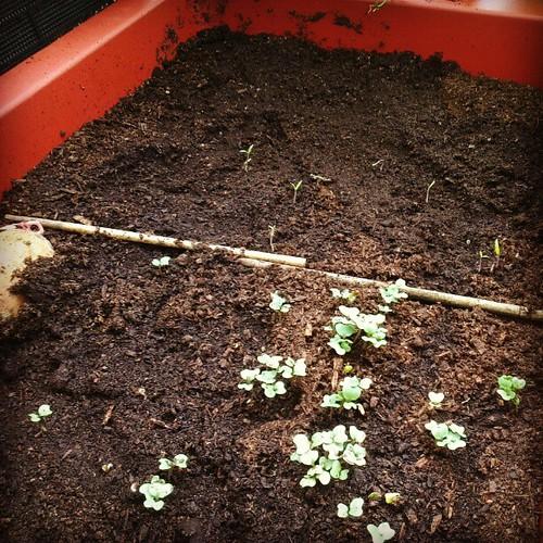 筷子兩邊都發芽了耶!大葉的是歐卡的青花菜,細細的是小蹦的番茄。