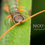 Centipede (Chilopoda) - DSC_6954