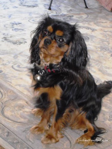 Sun, Oct 7th, 2012 Lost Male Dog - Rookwood, Ballygar, Castlecoote Rd, Athleague, Roscommon