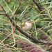 Small photo of Sedge Warbler (Acrocephalus schoenobaenus)