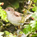 Small photo of Eurasian Reed Warbler (Acrocephalus scirpaceus)