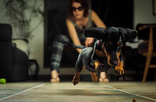 [フリー画像素材] 動物 1, 犬・イヌ, ダックスフンド, 動物 - 走る ID:201210171000