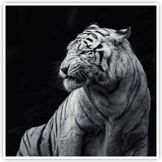 White Tiger [Explored]