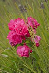 Capitola Flowers