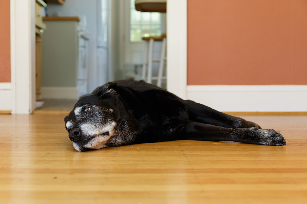 Our black lab Ellie rests on the hardwood floor