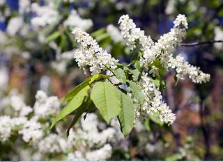 Цветущая церёмуха (Blossoming bird cherry)