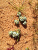 Flannel Cudweed plants Sept 2016