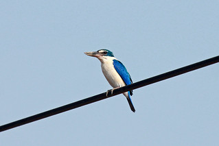 Collared Kingfisher (Todiramphus chloris) Белошейная альциона