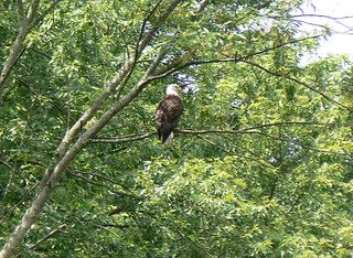 BALD EAGLE ON THE PATAPSCO