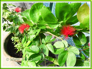 Calliandra emarginata (Dwarf Powderpuff) with red flowers, in our garden - August 22 2012