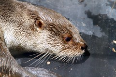 sea otter(0.0), animal(1.0), otter(1.0), mammal(1.0), fauna(1.0), close-up(1.0), polecat(1.0), whiskers(1.0), mink(1.0), wildlife(1.0),