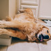 Labor Day nap by Brady the Golden Retriever