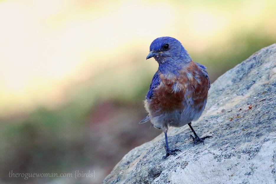 081312_05_zbird_mountBluebird03