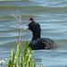 Crested Coot (Byron Palacios)
