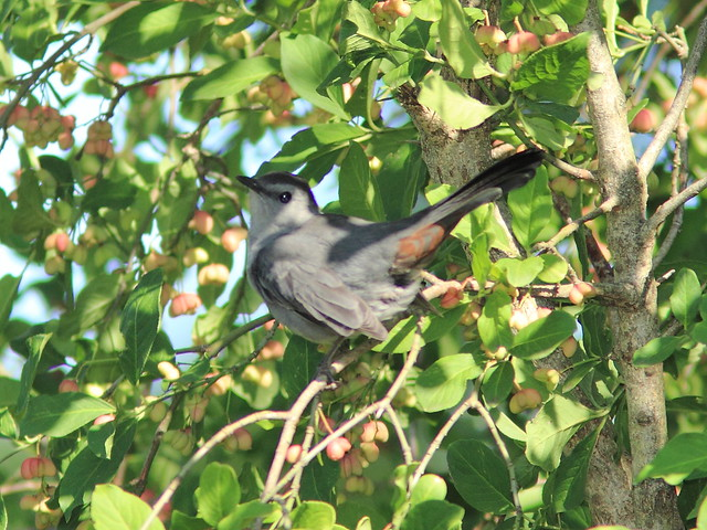 Gray Catbird 20120906