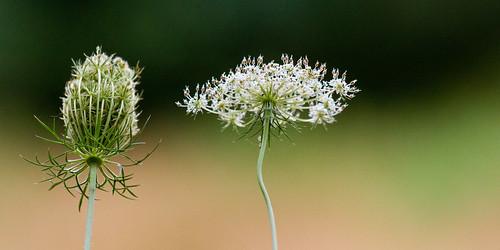 Daucus Carota (wilde peen) by eosfoto