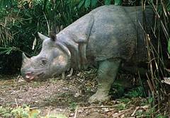 爪哇犀牛,蘭恩(Klaus Lang)擁有照片所有權。